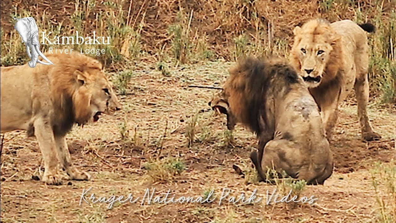 Download Final Fight of the Lion King in Epic Battle Full Movie   Wildest Africa - Epic Wildlife Videos
