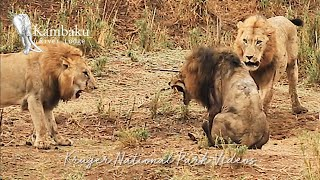 Final Fight of the Lion King in Epic Battle at Kruger Park Full Movie.