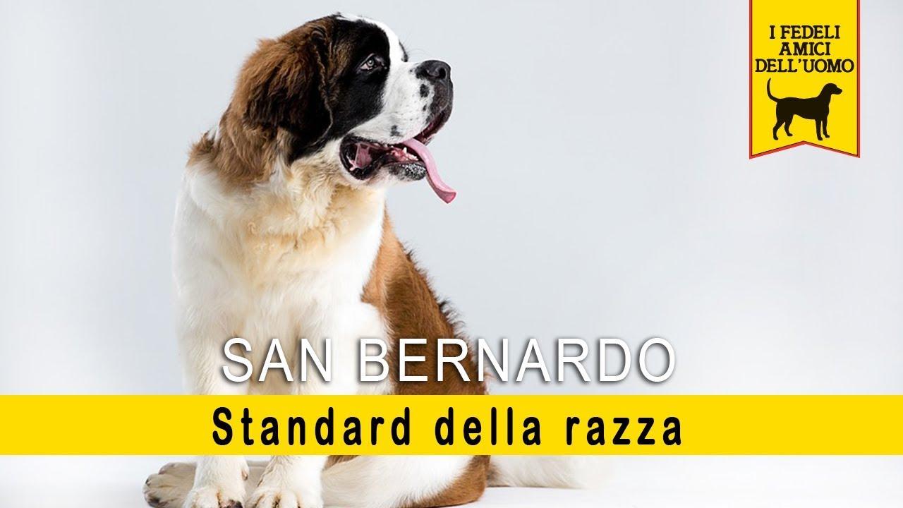 San Bernardo - Standard della razza