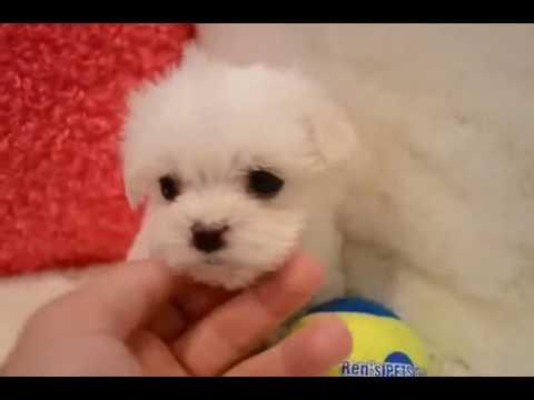 Volpino pomerania mini toy in regalo