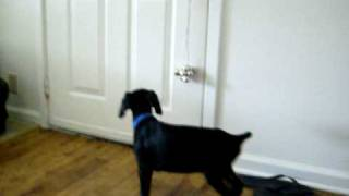 Doberman Puppy Goes Potty