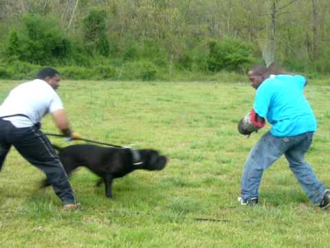 14 month old Cane Corso Training for Schutzhund working of ...