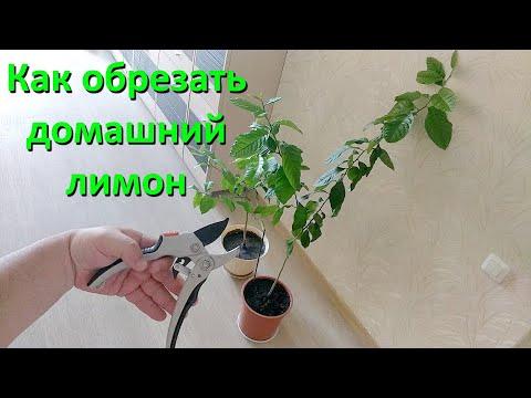 Вопрос: Может ли лимонное дерево сгореть, если стоит над батареей?