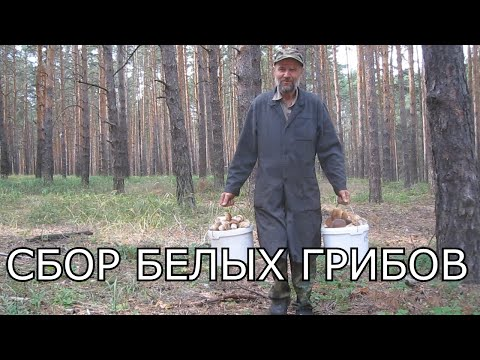 Много грибов.Грибные места.Походы в лес за грибами. Сбор грибов белых. Как собирать белые грибы.