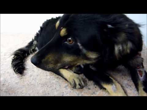 Howl Of A Dog - Homeless Dog Transformation. Abused Dog Rescue Story Happy End & Incredible Recovery
