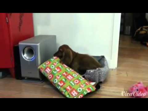 Excited dog opens Christmas present.