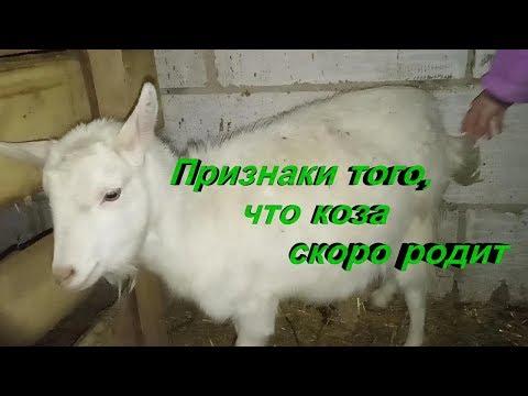 Как узнать что коза рожает