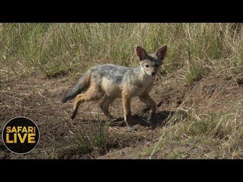 safariLIVE- Sunrise Safari - September 29, 2018