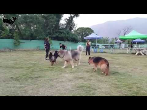 illyrian shepherd vs caucasian ovcharka vs tibetan mastiff  size comparison