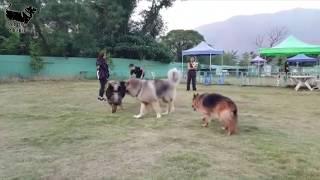 illyrian shepherd vs caucasian ovcharka vs tibetan mastiff  size comparison