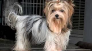 Beautiful Biewer Yorkie Puppy