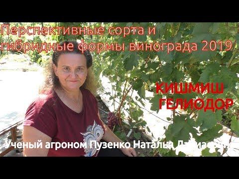 Виноград кишмиш Гелиодор- очень ранние кишмиши на участке Пузенко Натальи Лариасовны