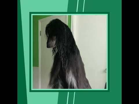 Afghan  hound dogs the name is mr AMIR