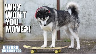 My Husky Argues With A Skateboard! Funny Dog Learning To Skate
