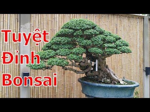 Bonsai siêu đẹp nổi tiểng thế giới và Việt Nam-Neo Garden -BShp