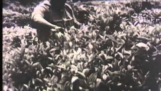 How tea is processed, 1930's - Film 38026