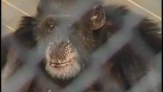 Bill the Chimpanzee.mov