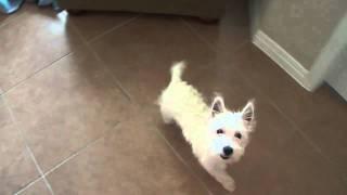 Westie 5 Month Old Puppy