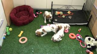 Little Rascals Uk Breeders New Litter Of Pedigree Cavalier King Charles - Puppies For Sale 2015