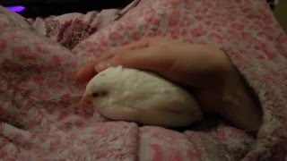 More Widget Cuteness - Tame Button Quail