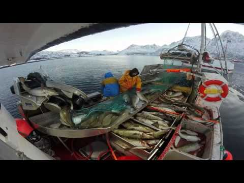 Winter Fishing lofoten norway Cod 2015 / vinterfiske torsk i