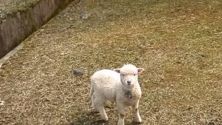 """奈良県山添村""""めえめえ牧場""""で一番のオチビな赤ちゃん。 私と愛犬が帰ろ..."""