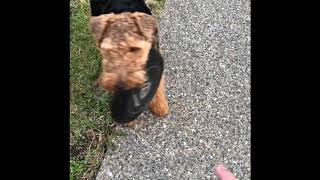 Welsh terrier playing fetch,  1 year old. (Griff)