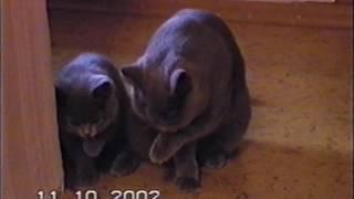 Британские котята и кошки дружно умываются. Съмка 2002г.