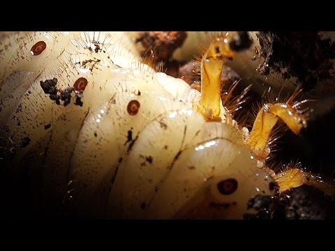 Rhinoceros Beetle Larvae And Associated Mites Youtube