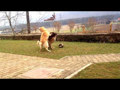 German Shepherd plays with Labrador HD