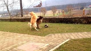 German Shepherd Plays With Labrador Hd