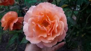 Осенние розы. Обрабатываю, удобряю в осень.