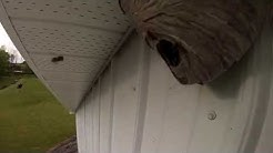 Gopro Rammed Into Wasp Nest!