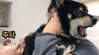 shiba dog afraid of injections(Eng sub)