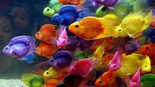 Coloured / dyed fish