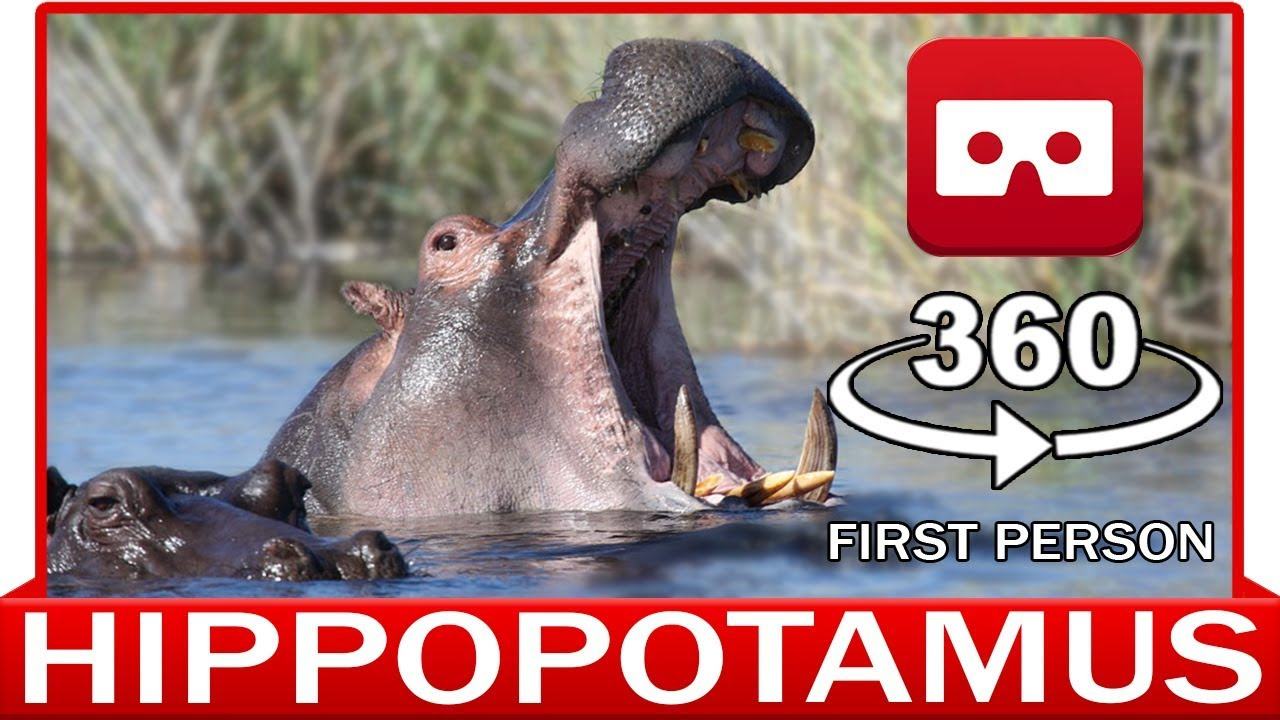 360° VR VIDEO - HAPPY HIPPO - HIPPOPOTAMUS - DISCOVERY NATURE & ANIMAL - VIRTUAL REALITY 3D