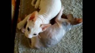 Котята сфинкса, 2,5 месяца