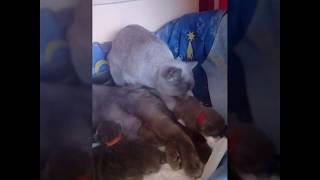 Британские котята / Кошки-няньки. Продажа котят