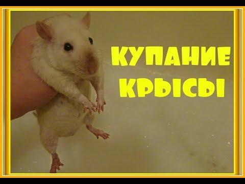 Как мыть крысу в домашних условиях