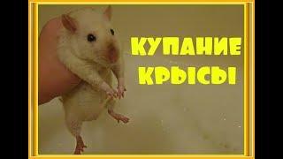 КУПАНИЕ КРЫС Можно ли купать крыс Как купать крысу Домашние крысы ДЕКОРАТИВНАЯ КРЫСА СИАМСКАЯ КРЫСА