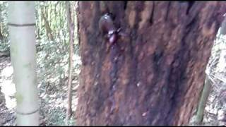 愛知県岡崎市の東公園あたりで、樹液採取にてカブトムシを捕まえました...