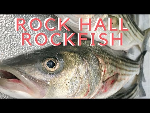 Rock Hall Rockfish (Stripers)--Solid Day
