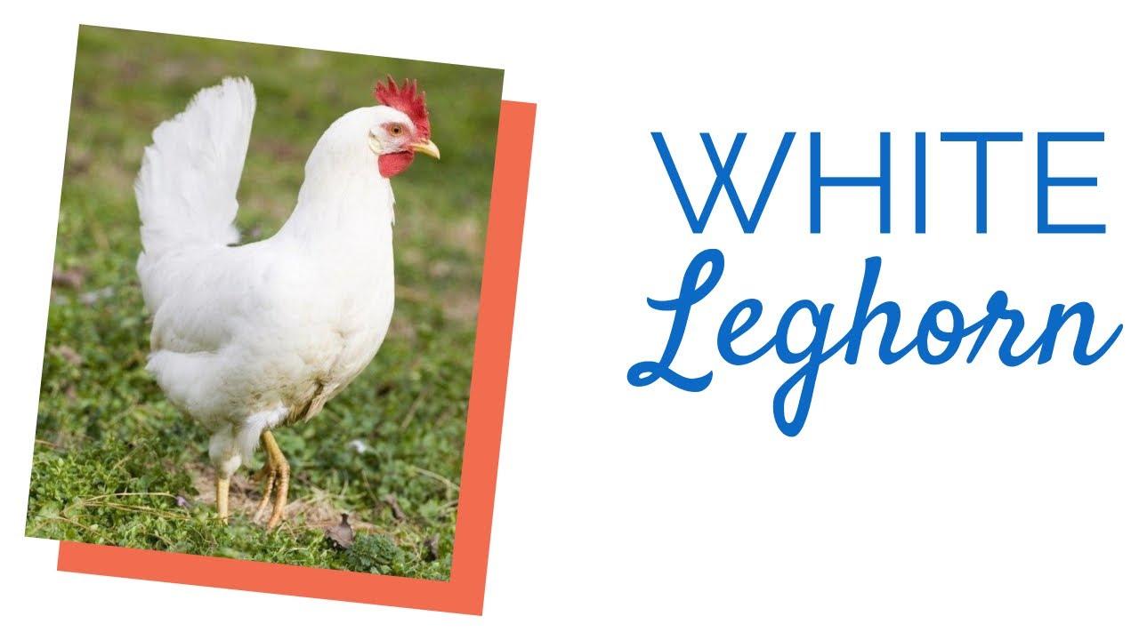 White Leghorn Chick