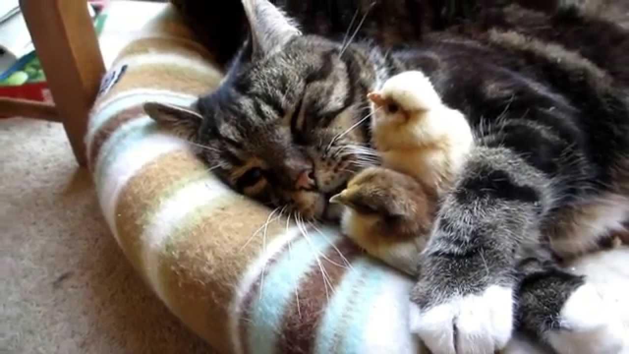 cat 39 s hug chicks youtube. Black Bedroom Furniture Sets. Home Design Ideas