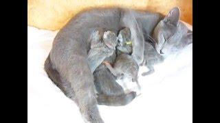 Новорожденные котята русской голубой кошки
