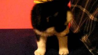 Male Black Siberian Husky Puppy(sold)
