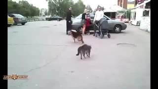 Подборка,  Драки  котов  і собак