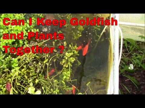Plants I Keep With Goldfish