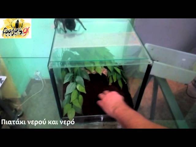 Lasidiora Parahybana Set up