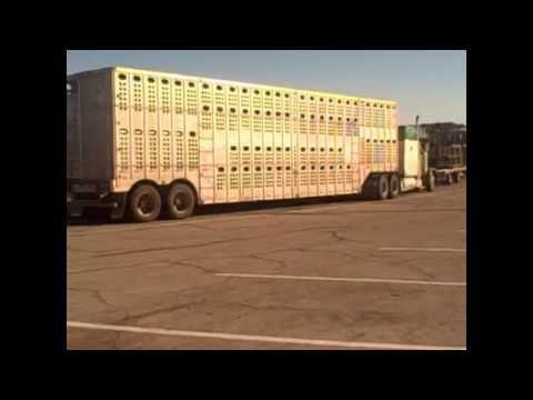 Random Cow Transport Truck